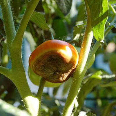 Prevent Blossom End Rot Tomato Diseases And Problems