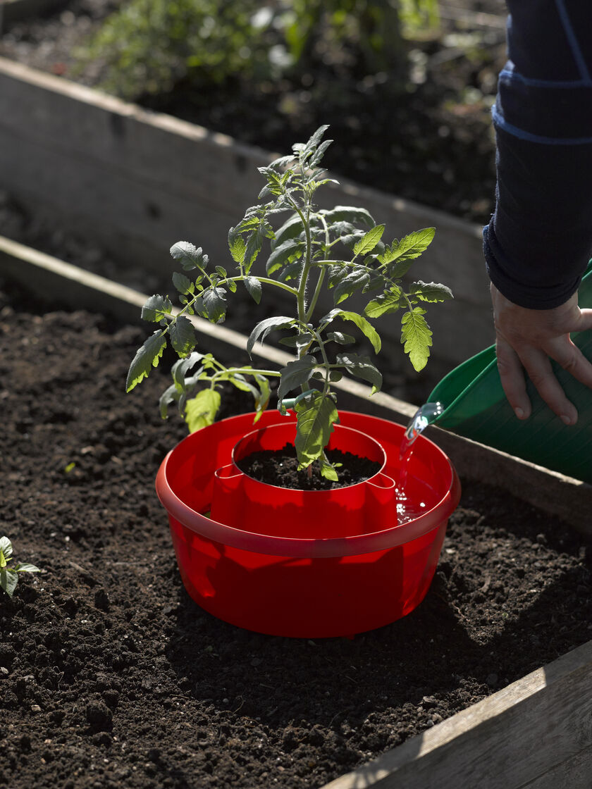 Tomato halos for watering cutworm control gardener 39 s - How often to water vegetable garden ...