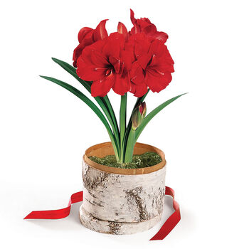 Double King Amaryllis