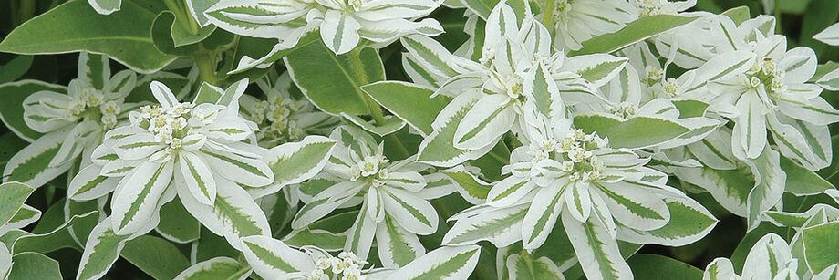 Euphorbia (Snow-on-the-Mountain)