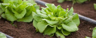Lettuce Loves It Cool