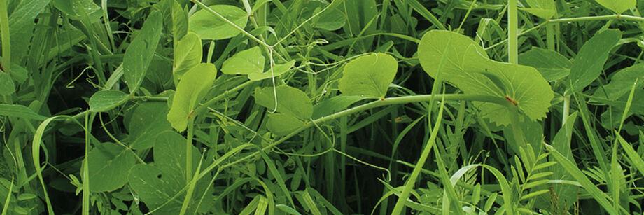 Fall Green Manure
