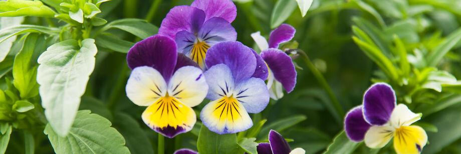 Viola (Pansy)