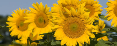 Sunflowers: Outshining Expectations