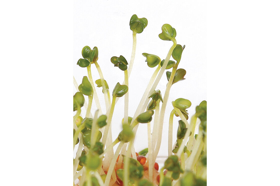 how to eat broccoli sprouts