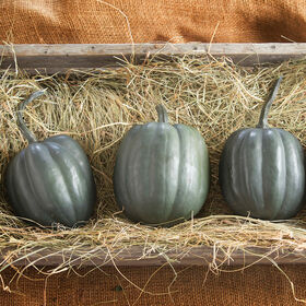 Taybelle PM Winter Squash