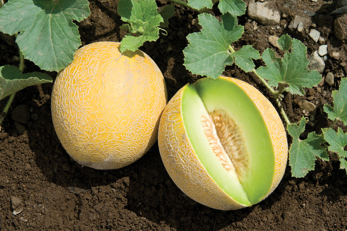 Diplomat F1 Melon Seed Johnny S Selected Seeds