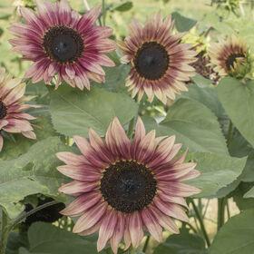 Strawberry Blonde Tall, Branching Sunflowers