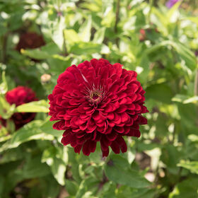 Benary's Giant Deep Red