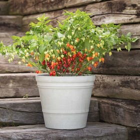 Biquinho Red Hot Peppers