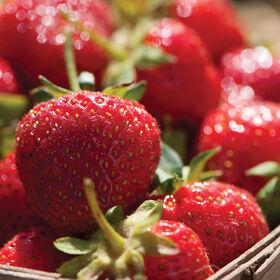 Durban Strawberry Plugs