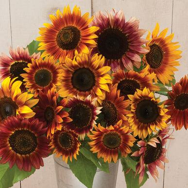 Autumn Beauty Tall Sunflowers