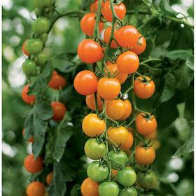 Toronjina Cherry Tomatoes