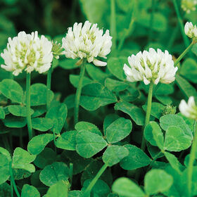 New Zealand White Clover Clovers