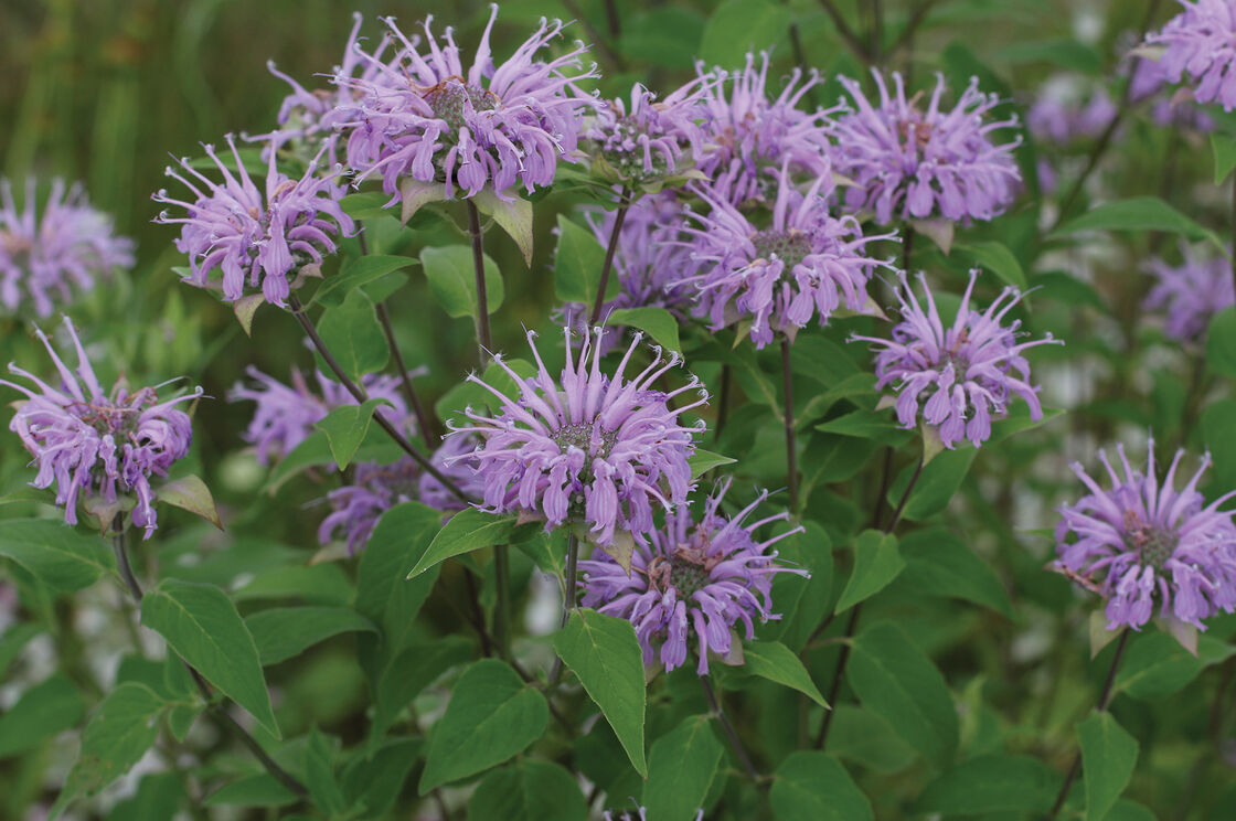 Wild Bergamot - Monarda Seed | Johnny's Selected Seeds