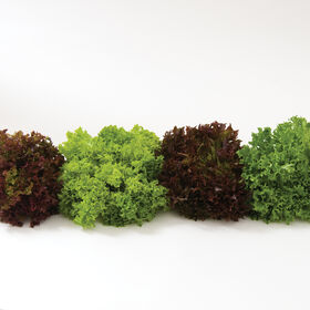 Salanova® Foundation Collection Salanova® Lettuce