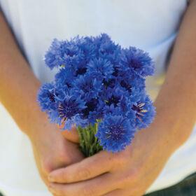 Florist Blue Boy Centaurea (Bachelor's Button)