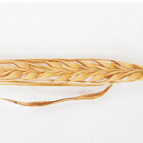 Barley (Conlon) Barley