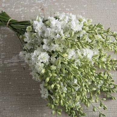 Qis white larkspur seed johnnys selected seeds qis white larkspur mightylinksfo