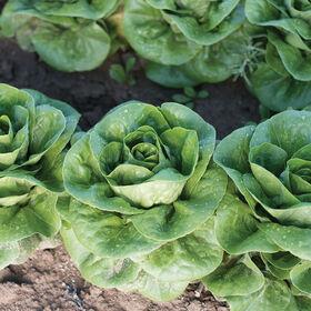Newham Bibb Lettuce