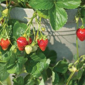 Seascape Strawberry Bare-Root Plants