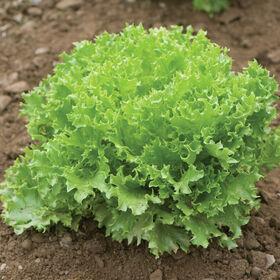 Salanova® Green Sweet Crisp