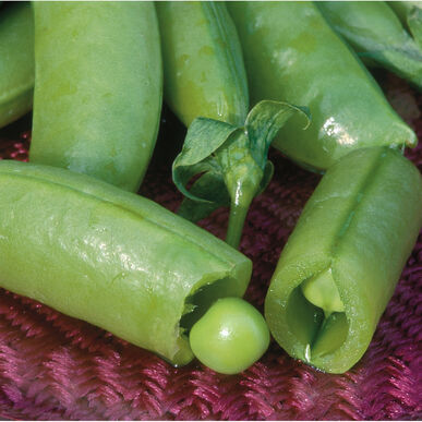super sugar snap pea seed johnny s selected seeds