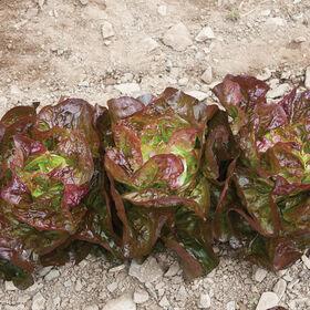 Alkindus Butterhead Lettuce (Boston)