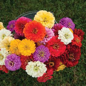 Giant Dahlia Flowered Mix Tall Zinnias