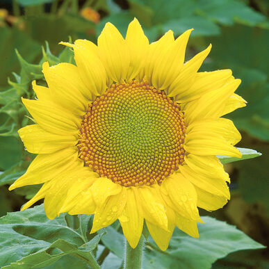 zebulon sunflower seed johnny s selected seeds