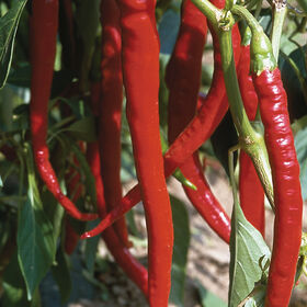 Joe's Long Cayenne Hot Peppers
