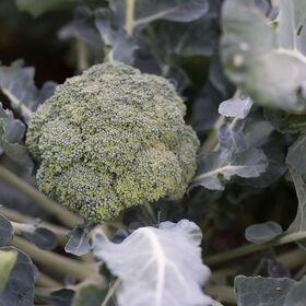 Marathon Broccoli Standard Broccoli