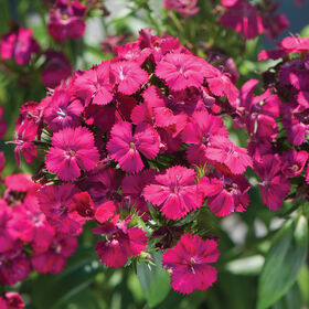 Amazon Neon Cherry Dianthus (Sweet William)