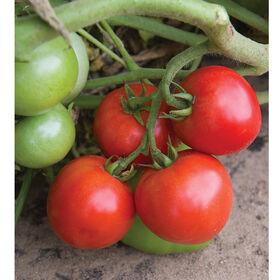 Defiant PhR Tomatoes