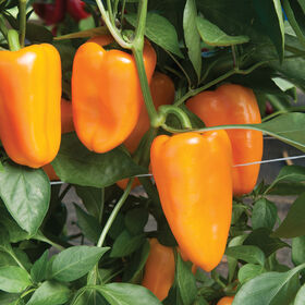 Aura Sweet Peppers