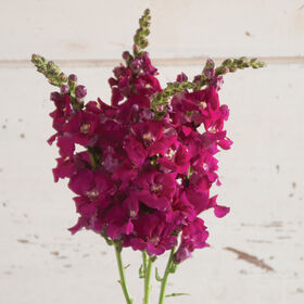 Chantilly Purple Snapdragon