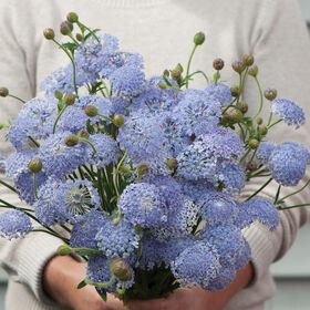 Lacy Lavender Blue