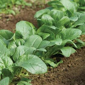 Carmel Savoyed-Leaf Spinach