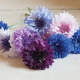 Standard Mix Centaurea (Bachelor's Button)