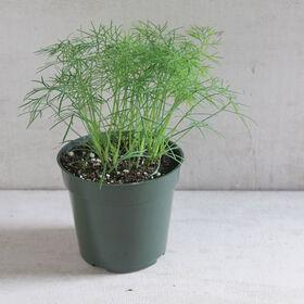 Fernleaf Herbs for Salad Mix