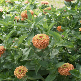Queen Lime Orange Zinnias