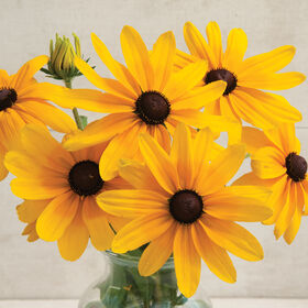 Indian Summer Rudbeckia (Black-Eyed Susan)
