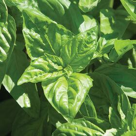 Italian Large Leaf Pesto Basil