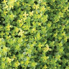 Lemon Thyme Thyme