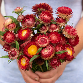 Fireball Strawflower