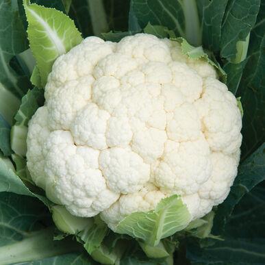 skywalker organic f1 cauliflower seed johnny s selected seeds