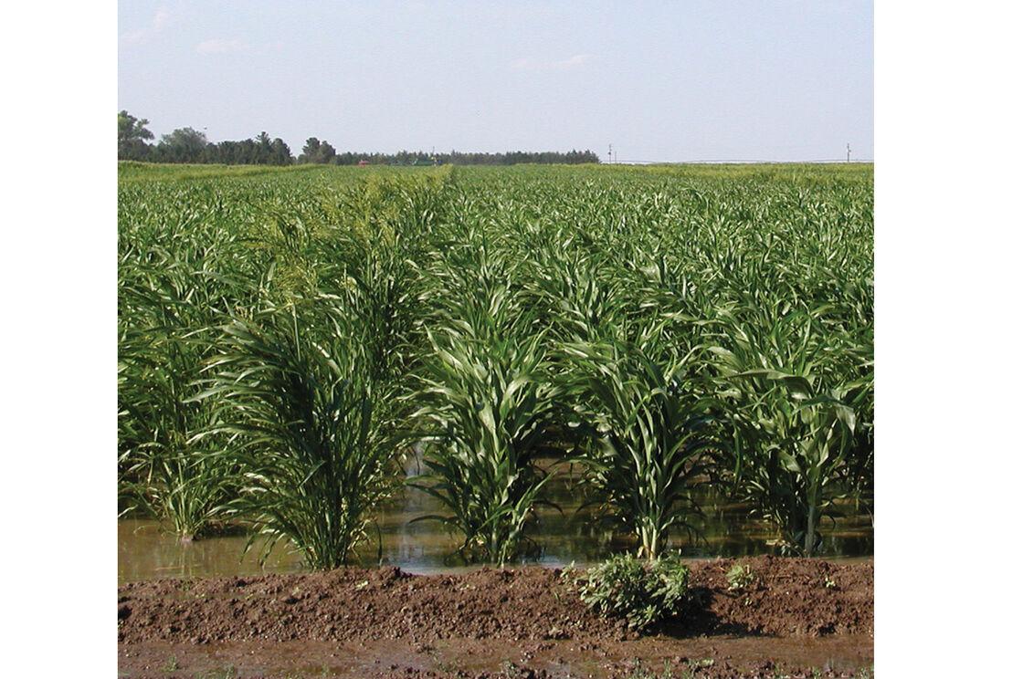 Sudan Seeds