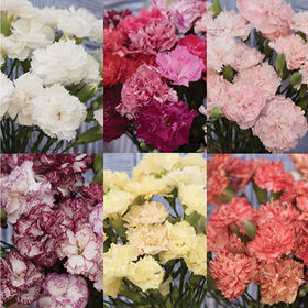 Chabaud Carnation Collection