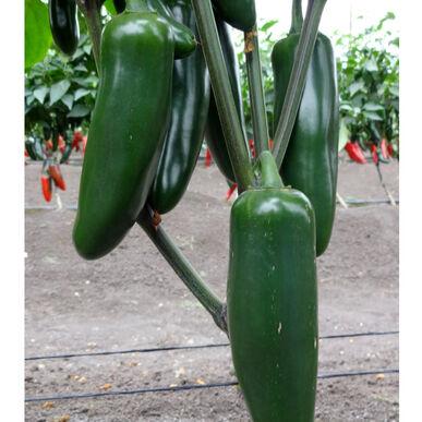 jedi hot peppers - Jedis Garden