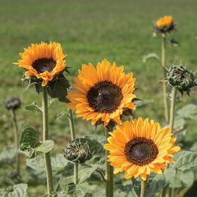 Soraya Tall, Branching Sunflowers